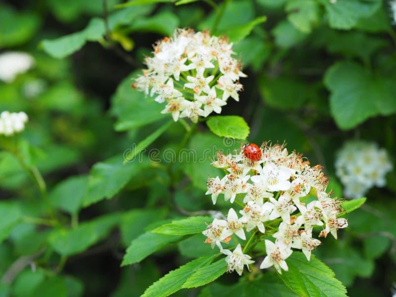 在白花的红色瓢虫 免版税库存图片