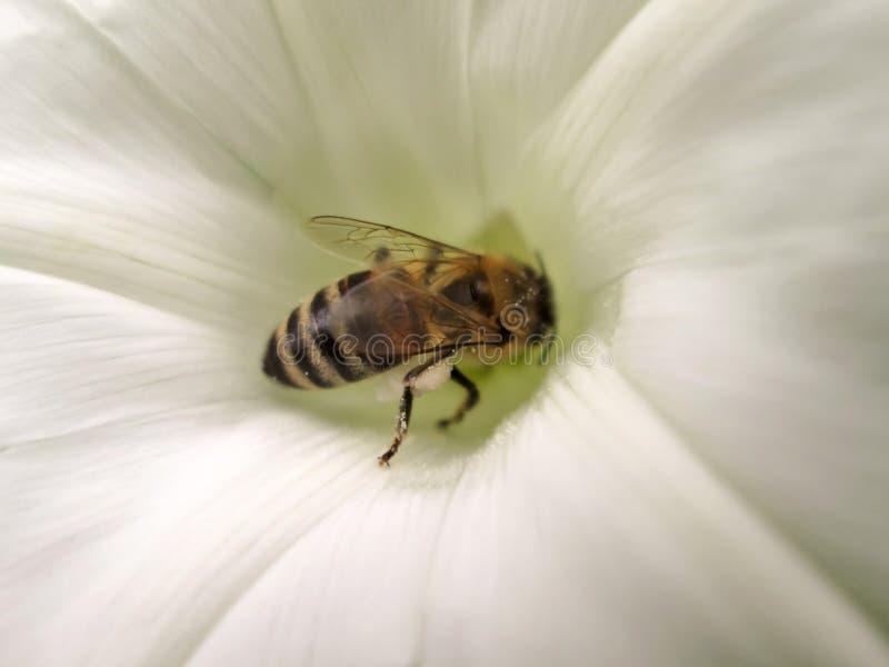 在白花的蜂 免版税库存图片