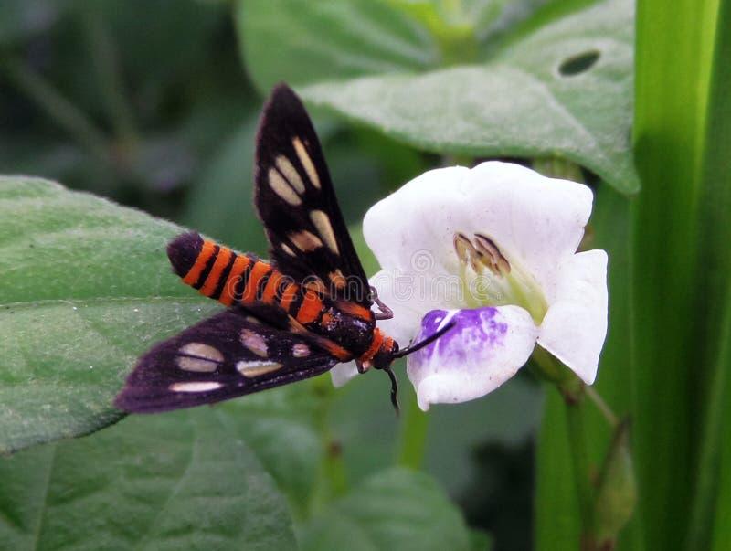 在白花的飞蛾 免版税图库摄影