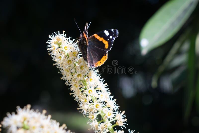 在白花的黑蝴蝶 图库摄影