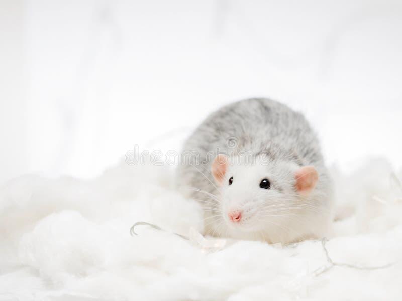 在白雪冬天背景的灰色花梢鼠 免版税库存照片