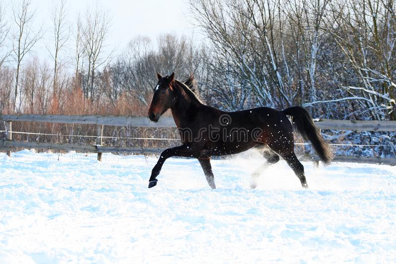 在白雪的公马 免版税库存图片