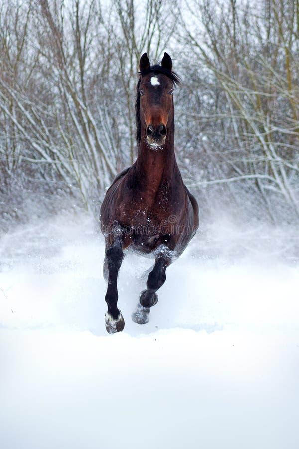 在白雪的海湾公马 免版税库存照片