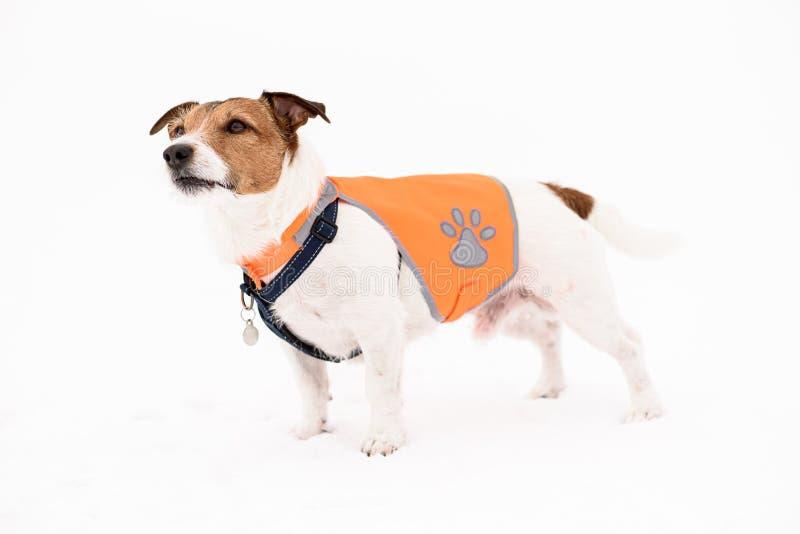 在白雪的狗佩带的宠物安全反射性背心身分 库存照片