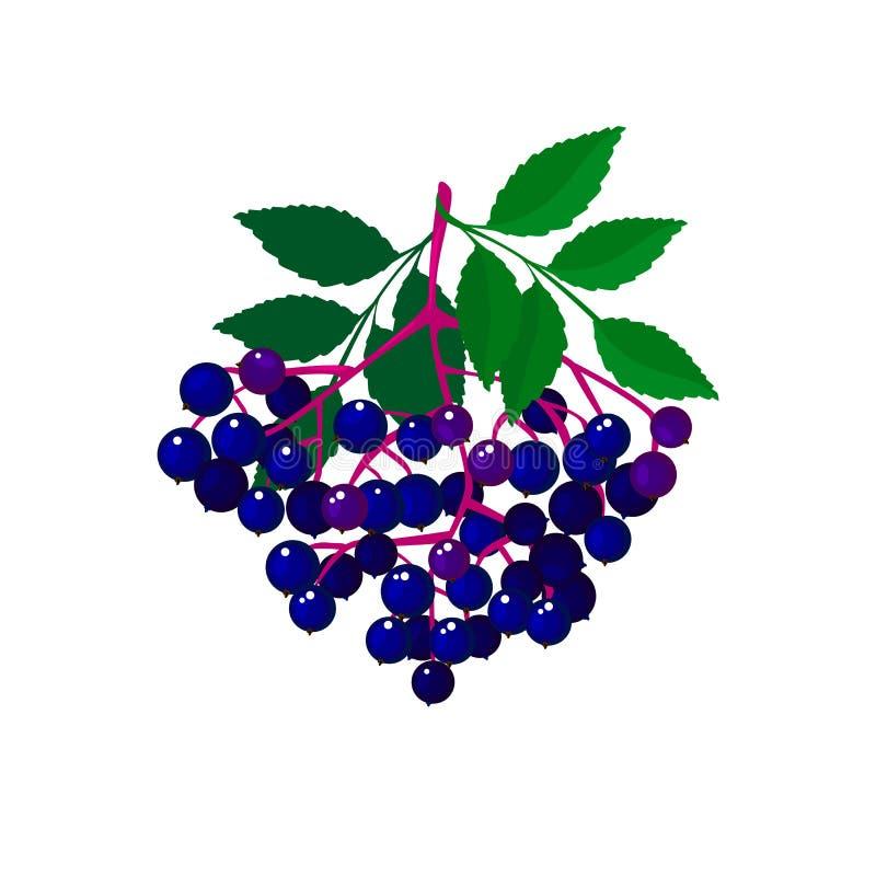 在白bg隔绝的动画片新鲜的接骨木浆果 库存例证