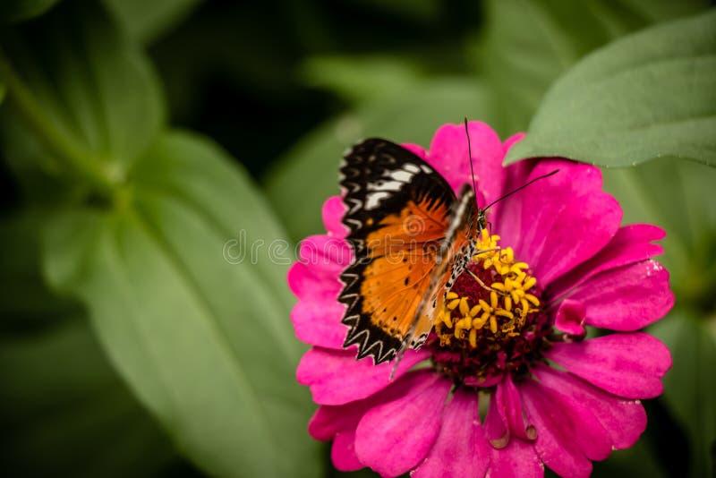 在百日菊属花的黑脉金斑蝶哺养的糖浆 库存图片