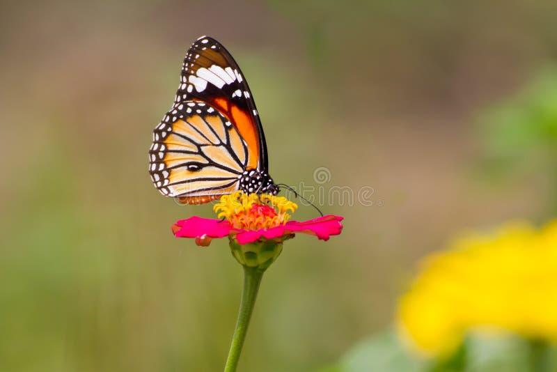 在百日菊属花的黑脉金斑蝶 库存照片