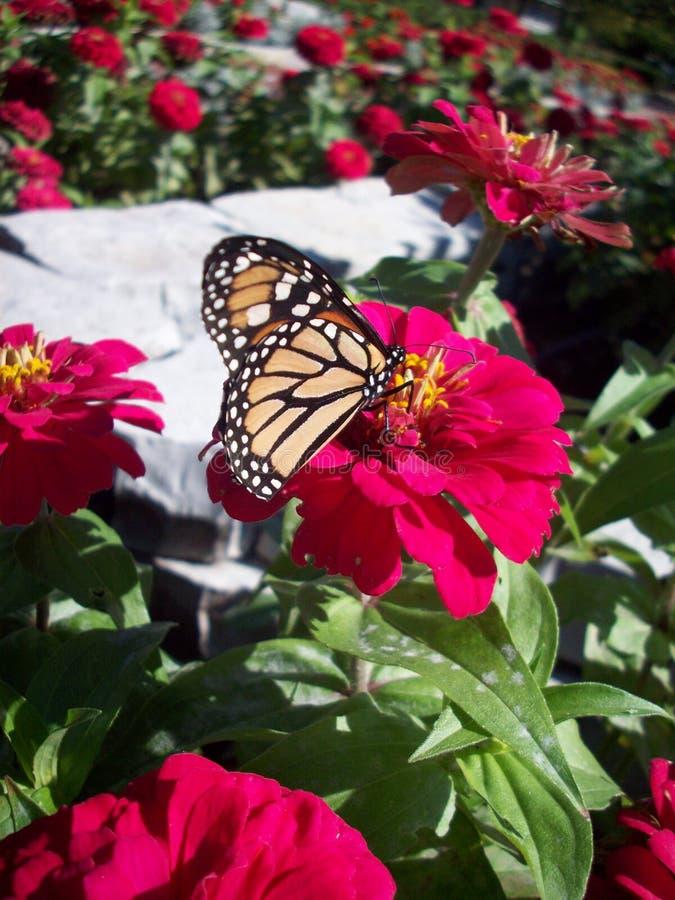 在百日菊属花的黑脉金斑蝶 图库摄影