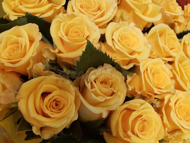 在百花香的黄色玫瑰色花爱、背景和纹理礼物的  库存图片