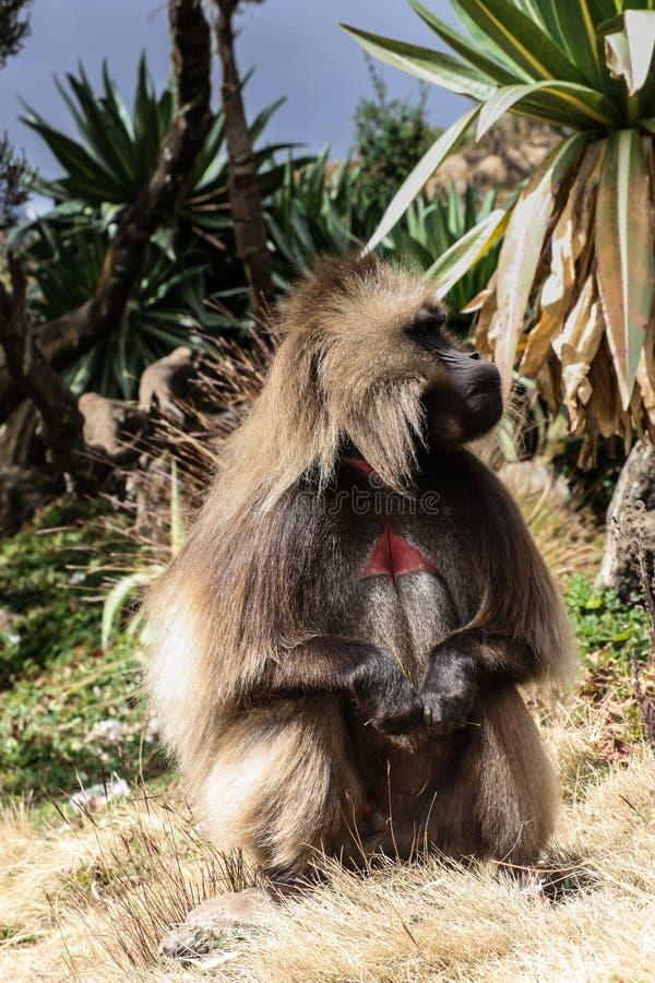 在的一只gelada狒狒猴子simien山-埃塞俄比亚 库存图片