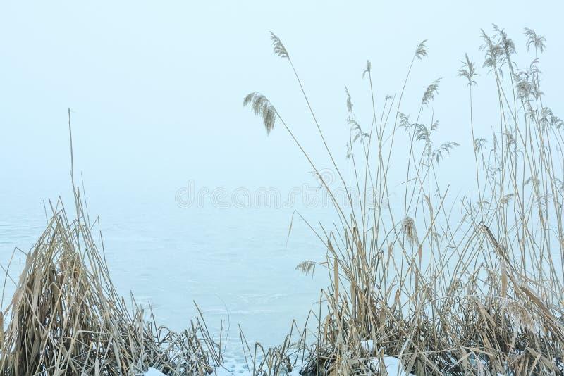 在的冷的结冰的芦苇湖岸 库存照片