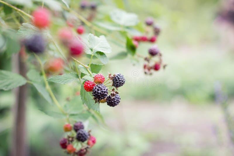 在的成熟黑黑莓 库存照片