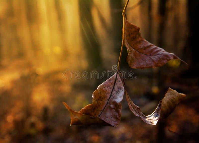 在的晚秋天forestFrozen在太阳的光芒的叶子 库存图片