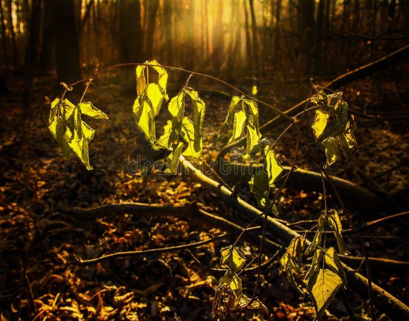 在的晚秋天forestFrozen在太阳的光芒的枯萎的叶子 库存照片