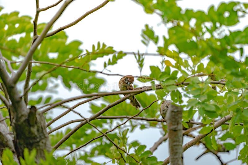 在的泰国小的棕色麻雀鸟graden和公园 库存照片