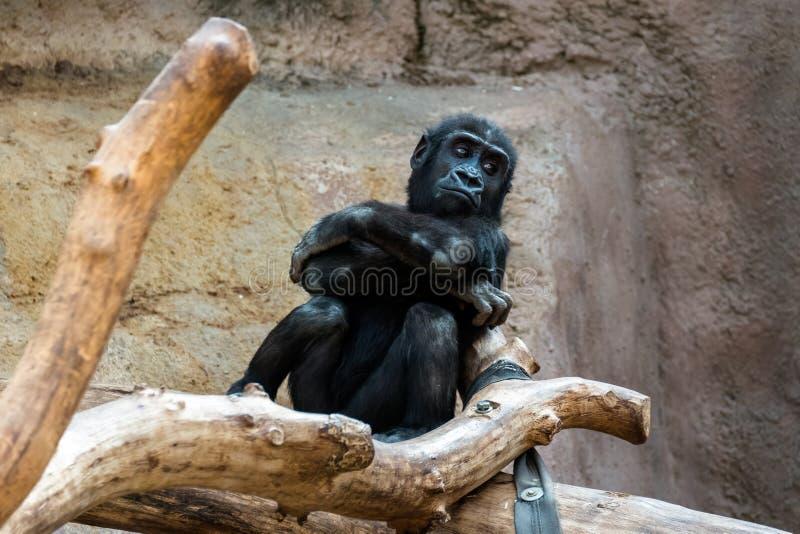 在的猴子 免版税库存图片