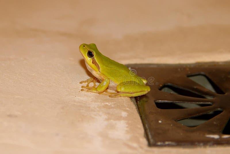 在的绿色雨蛙 免版税库存照片