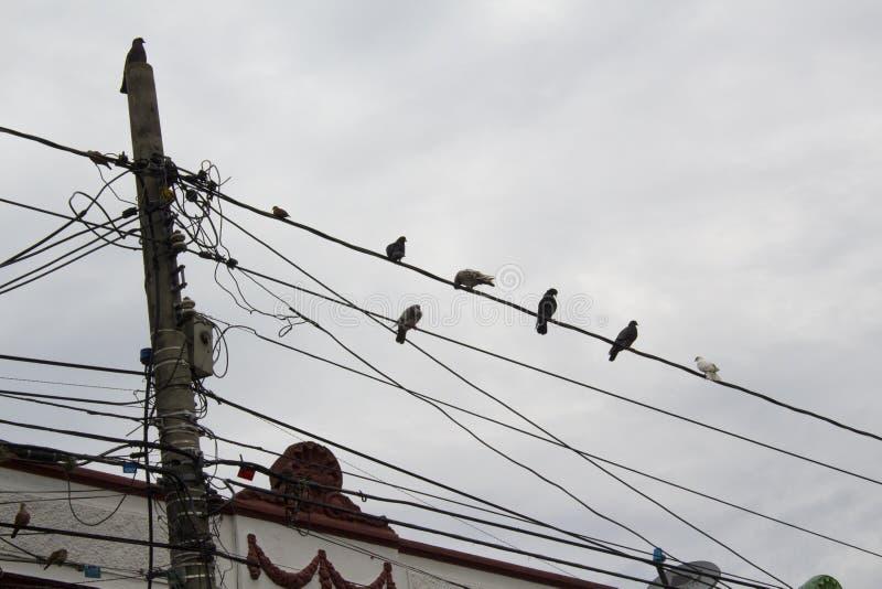 在的许多鸽子电导线 鸠坐输电线 库存照片