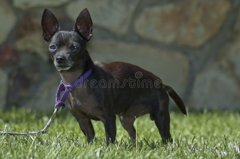 在皮带火车的逗人喜爱的黑奇瓦瓦狗小狗在草 库存图片