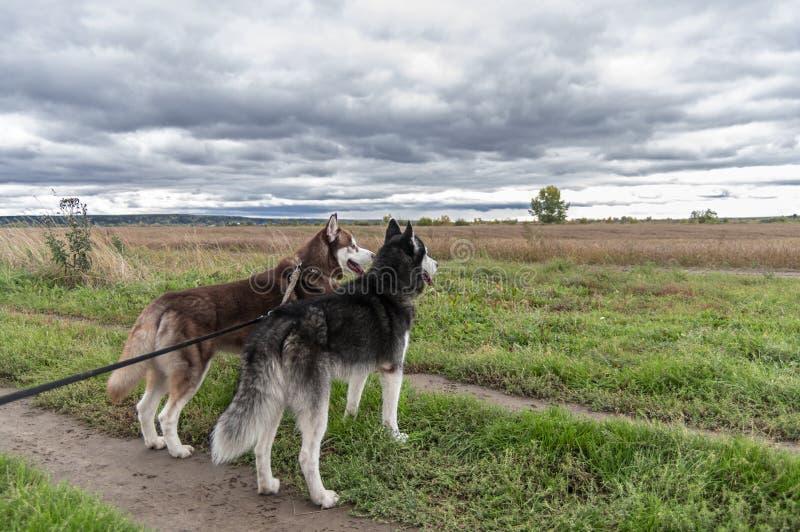 在皮带的两条多壳的狗在黑暗的雨云背景的秋天领域前面站立  后面视图雨背景 库存照片