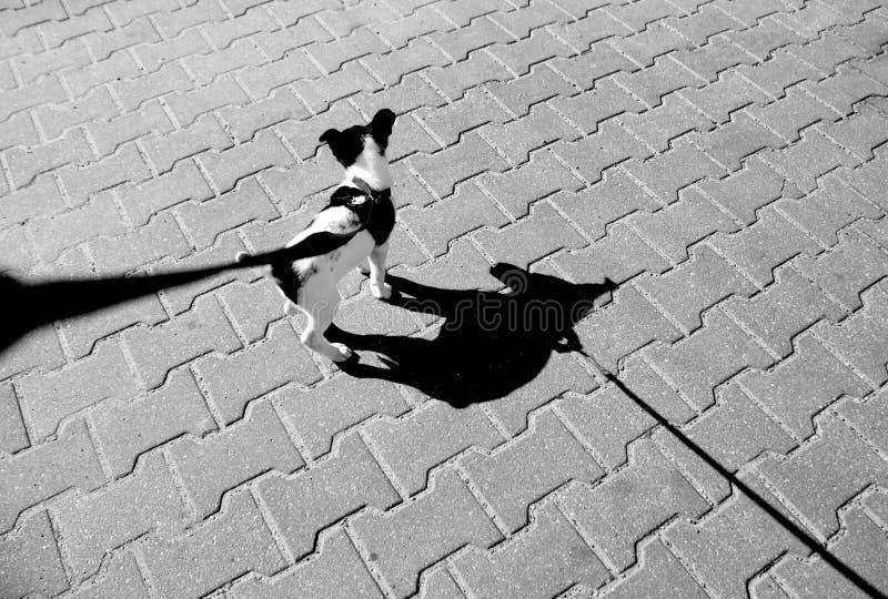 在皮带的小小狗和它的在路面的阴影在黑色和whi 免版税图库摄影