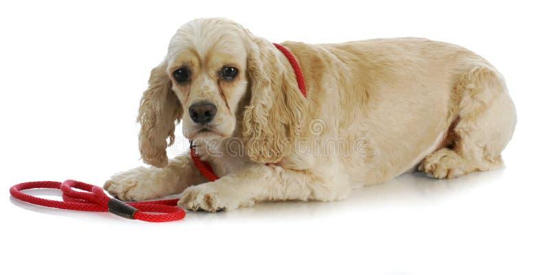 在皮带的狗 免版税库存照片