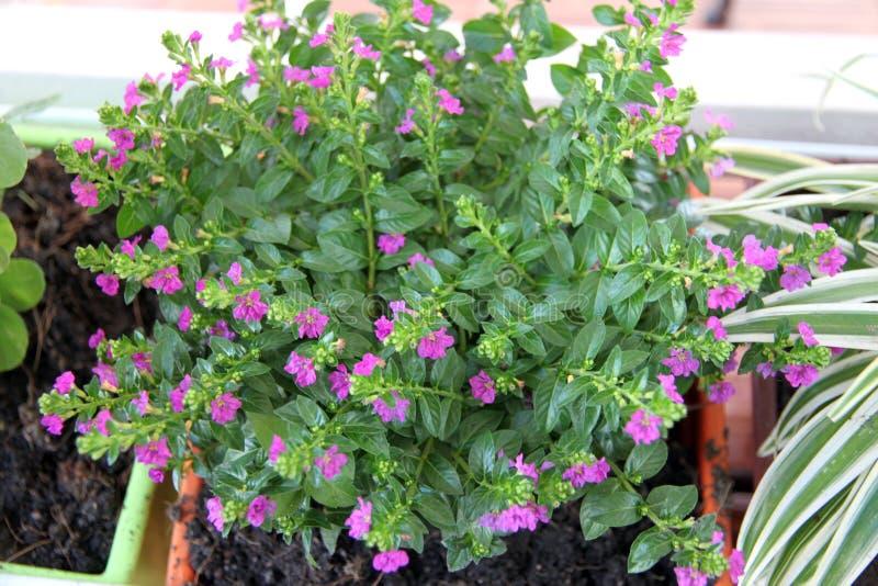 在盆的树与小紫色花。 库存图片