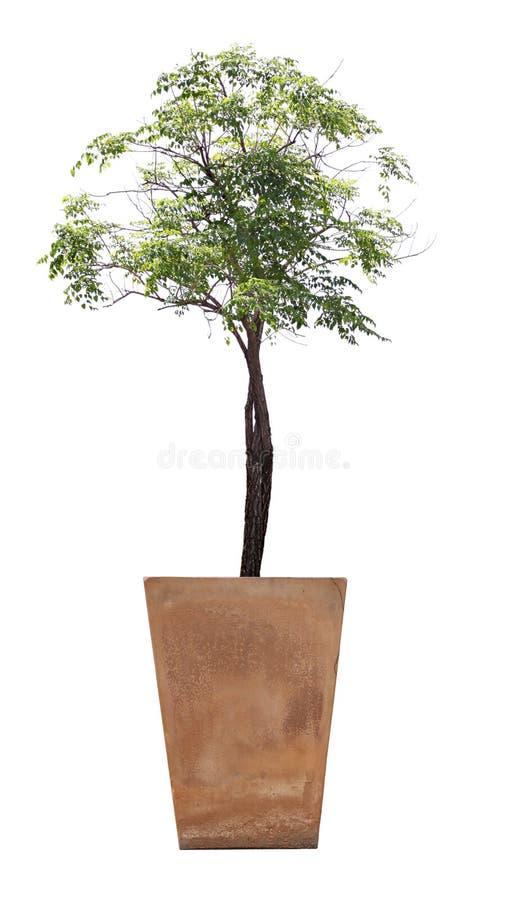 在盆的树 免版税库存图片