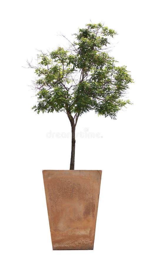 在盆的树 免版税库存照片
