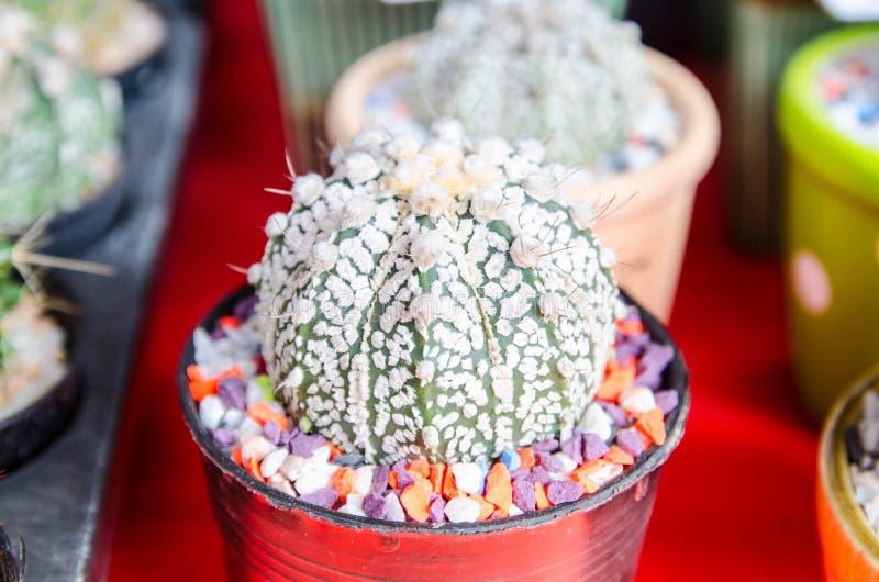 在盆的美丽的仙人掌沙漠植物 免版税库存照片