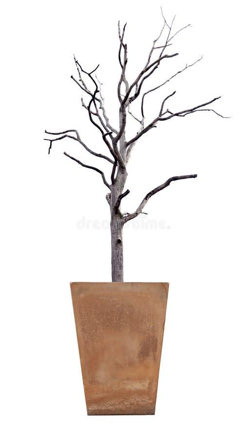 在盆的死的树在白色 图库摄影