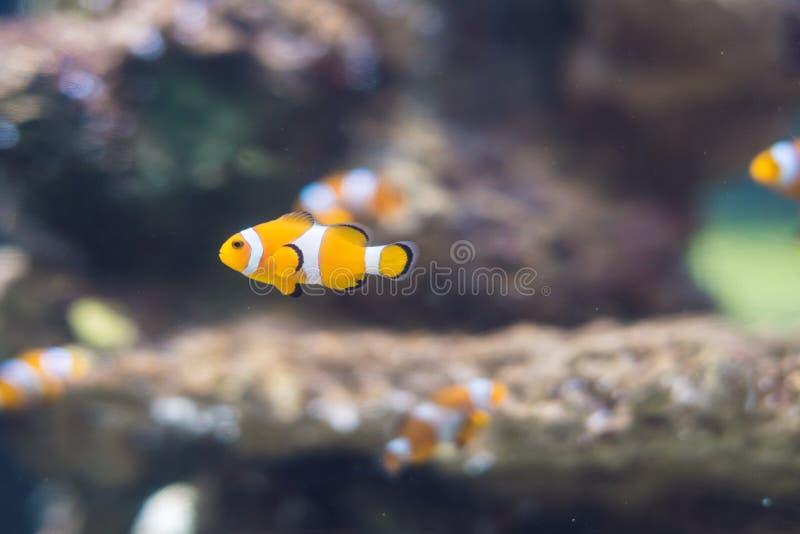 在盐水珊瑚礁水族馆的Clownfish 免版税库存图片