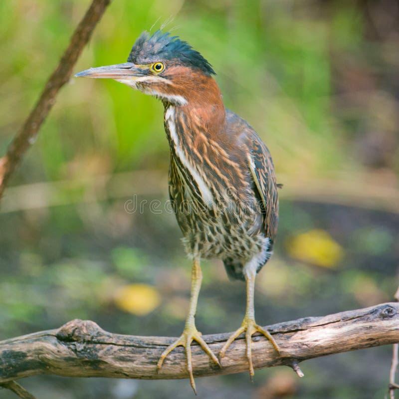 在监视的一个下落的树枝栖息的绿色苍鹭-在明尼苏达谷全国Wi的明尼苏达河洪泛区 免版税图库摄影