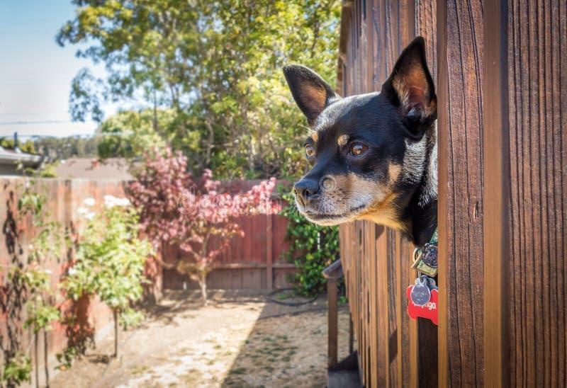 在监视的微型短毛猎犬 免版税库存图片