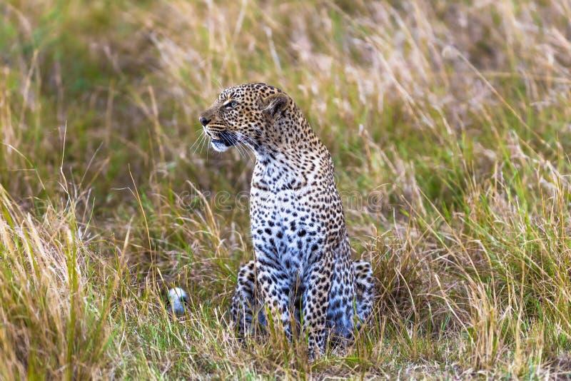 在监视的豹子 猎人 mara马塞语 免版税库存照片