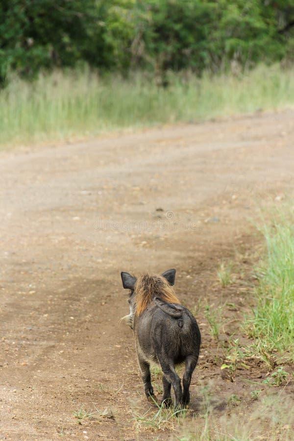 在监视的Warthog 免版税图库摄影