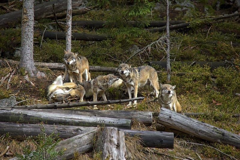 在盒的生活狼 免版税图库摄影