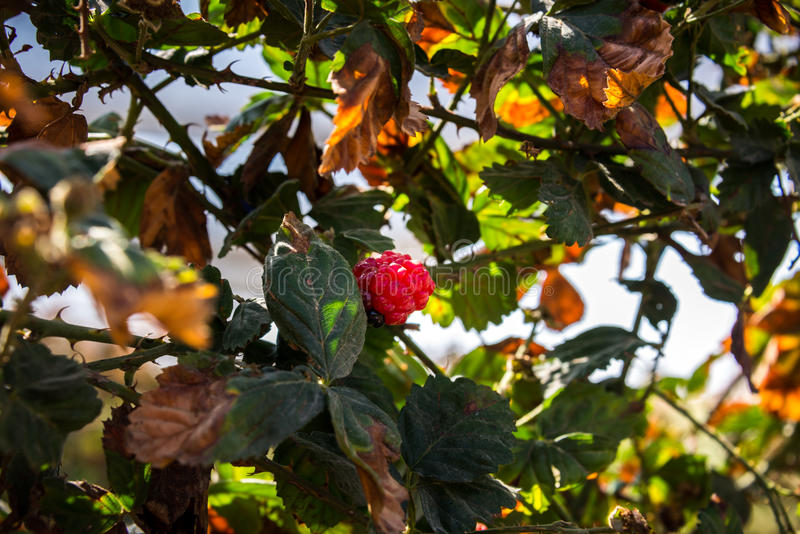 在盖代拉农场的莓 图库摄影