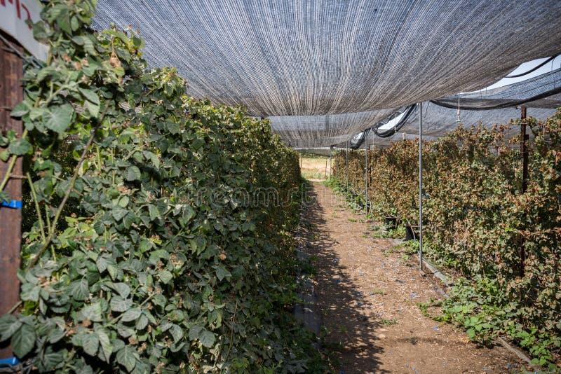 在盖代拉农场的莓 库存照片