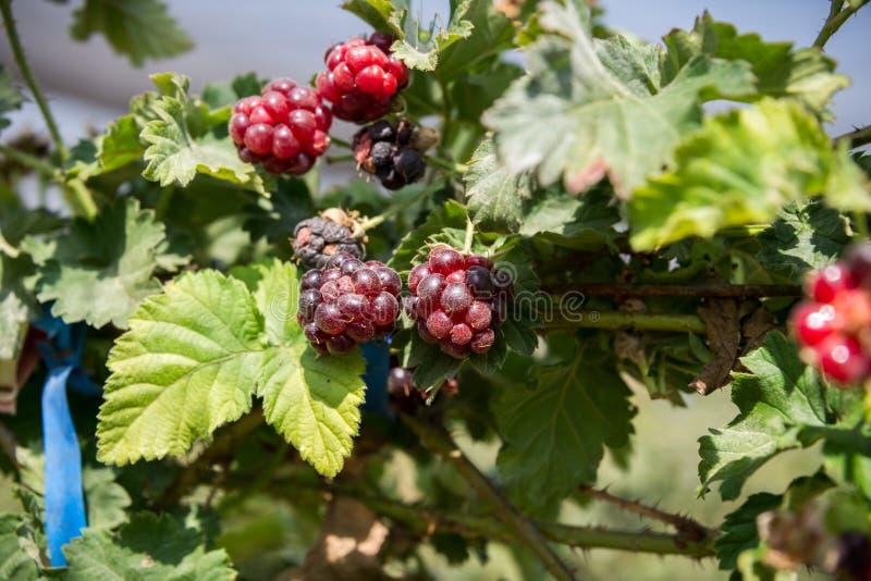 在盖代拉农场的莓 免版税库存图片