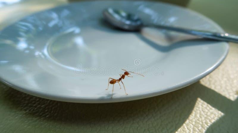 在盘的唯一红色蚂蚁 免版税库存图片