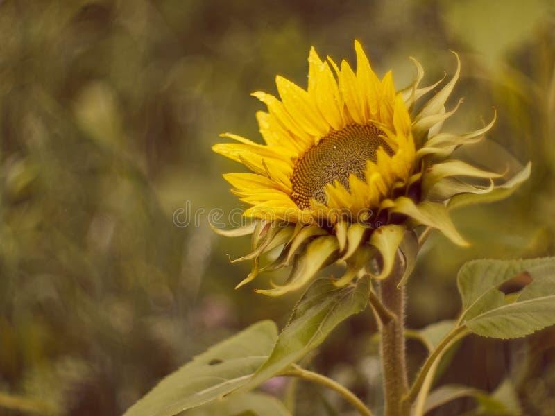 在盛开和被弄脏的背景的向日葵 库存图片