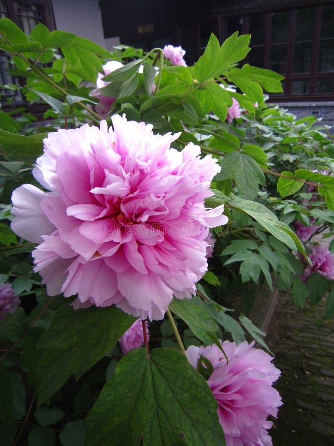 在盛开的一株桃红色牡丹 库存照片