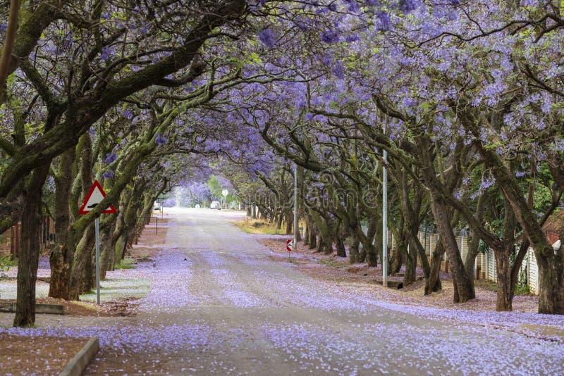 在盛开的兰花楹属植物树 免版税库存图片
