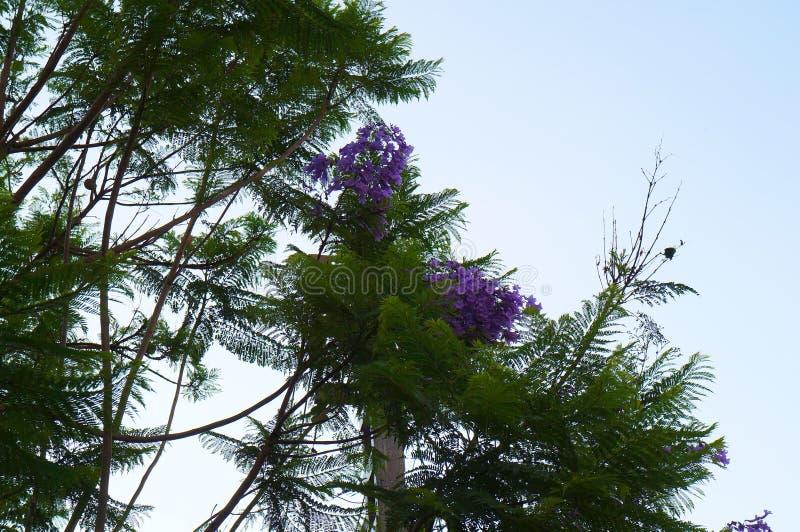 在盛开的兰花楹属植物树 免版税库存照片