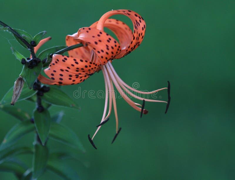 在盛开的卷丹或百合属植物superbum 免版税库存照片