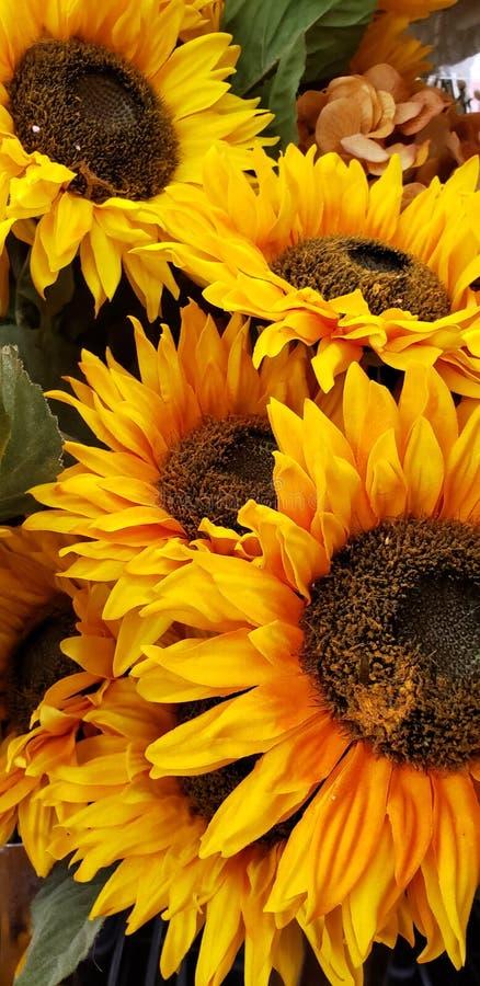 在盛开的向日葵 免版税库存照片