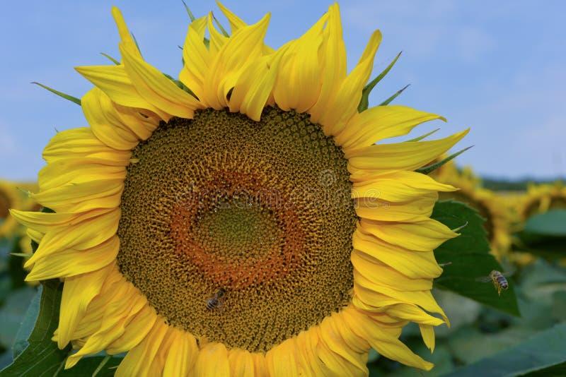 在盛开的大向日葵 免版税库存照片