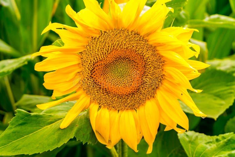 在盛开的明亮的黄色向日葵在油的庭院改进皮肤健康并且促进细胞再生 免版税图库摄影