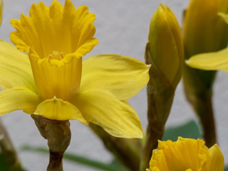 在盛开的明亮的黄色黄水仙在春天期间 图库摄影